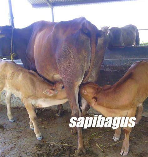 Bibit Sapi Anakan tiga cara agar sapi lahir kembar sapibagus
