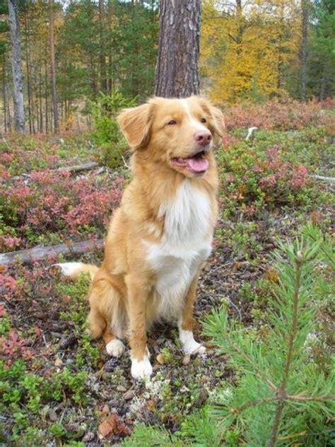medium dogs 25 best ideas about medium dogs on medium size dogs medium breeds