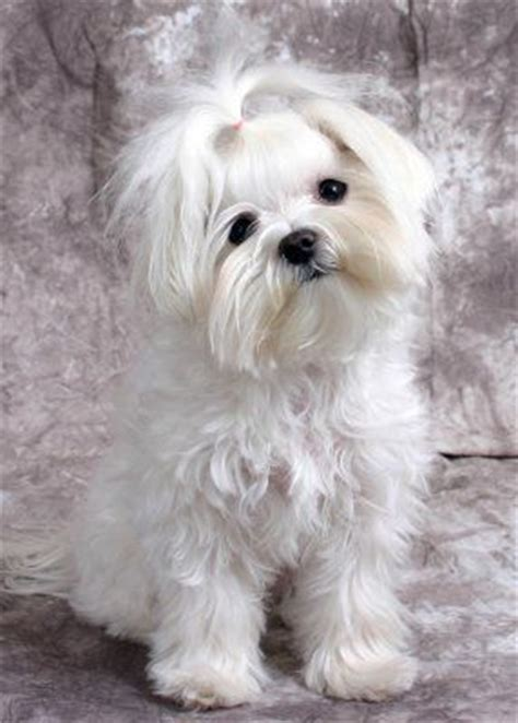 boy maltese haircuts 1000 ideas about maltese haircut on pinterest maltese