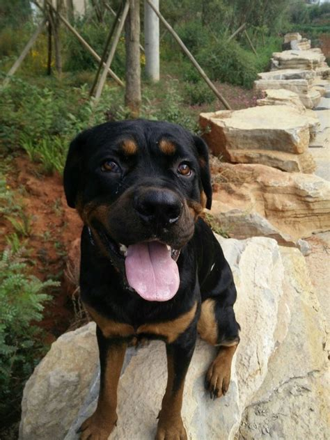 what are rottweilers what are the differences between rottweilers and dobermans quora