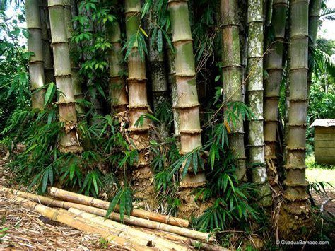 Wallpaper Bambu Hijau 10 Meter 45 Cm perbedaan morfologi antara bambu kuning bambusa vulgaris dengan bambu betung dendrocalamus