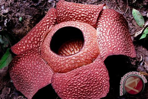 gambar miera liyana di malam gala abp rafflesia newhairstylesformen2014