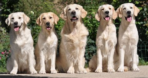 performance golden retrievers golden retriever labrador elevage et s 233 lection cynophile d v a hivet