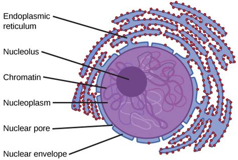 diagram of a nucleus the nucleus