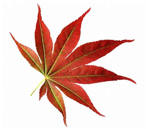 japanese maple leaf free stock photo clipart best clipart best
