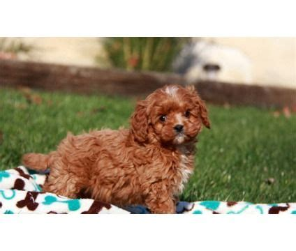 cavapoo puppies for sale ny cavapoo puppies for sale is a cavapoo for sale in prince ny needs