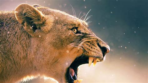 imagenes 4k wallpaper animales ma41 angry lion one animal nature papers co