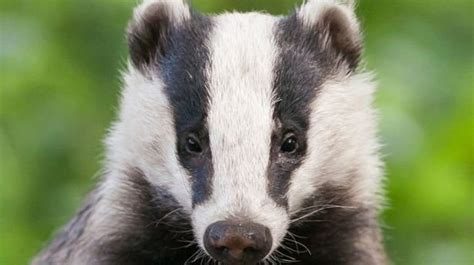 badger cull petition petition 183 theresa may mp stop the badger cull in the