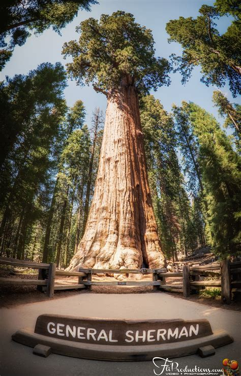 general sherman tree sequoia national park in california general sherman moro rock tall tree sequoia national