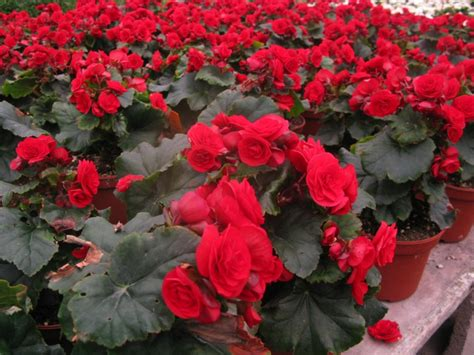 begonia color begonia color where to find color inspiration the crafty