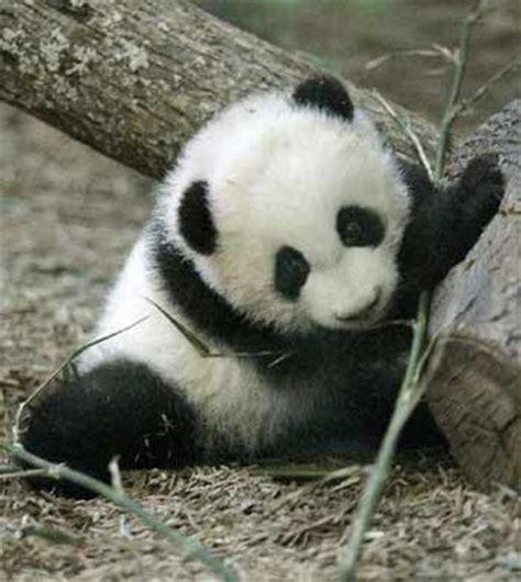 Baby Panda One one week baby panda dies of pneumonia