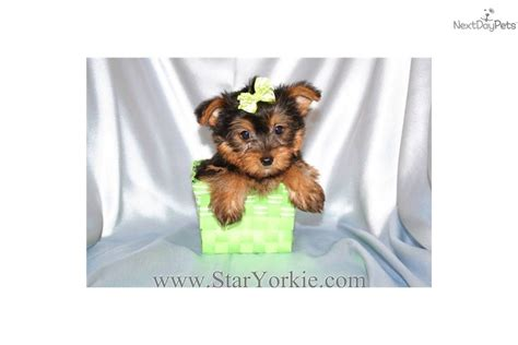 teacup yorkies for sale in las vegas puppies by breeder available in las vegas nv puppies for sale dogs breeds picture