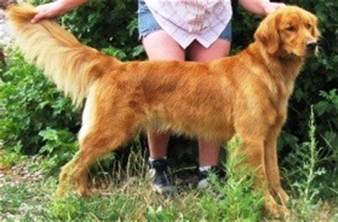 field bred golden retriever puppies akc field bred golden retriever puppies golden retrievers in arimo breeds picture