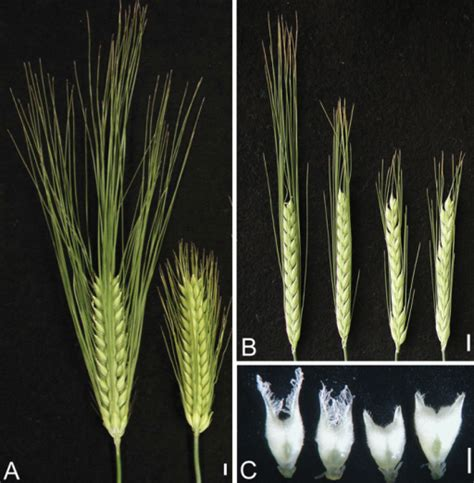 awn com morphology of long awn and short awn barley cultivars open i