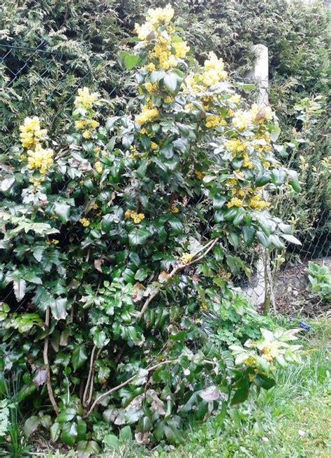 stauden und sträucher 1864 immergr 252 ne pflanzen winterhart gartenpflanzen winterhart