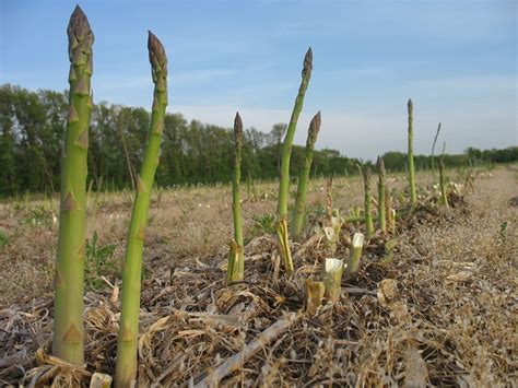 how to grow asparagus from seed the garden of eaden