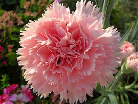 Light Up Flowers In Vase Growing Carnations How To Grow Carnations In The Garden