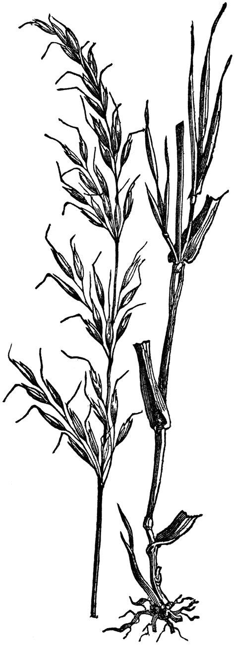 Tall Meadow Oat Grass | ClipArt ETC