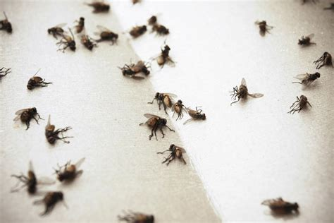 8 Natural Solutions On How To Get Rid Of Flies Tiny Black Flies In The House