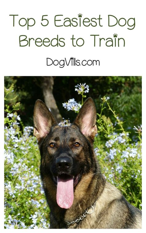 easy to house train dog breeds what are the top 5 easiest dogs to train dogvills