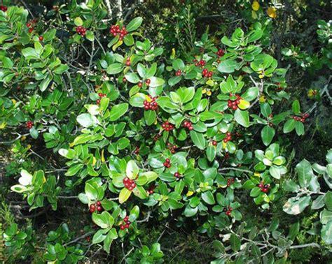 arbusti sempreverdi fioriti arbusti e cespugli fioriti page 2