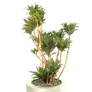 dracaena fragrans execuflora dracaena fragrans compacta