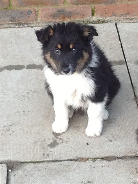 border collie puppies for adoption lyla and scout 12 week and border collies for adoption