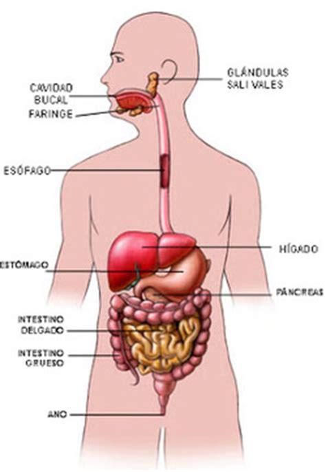 el sistema digestivo y sus organos el cuerpo humano sistema digestivo sistemas del cuerpo humano