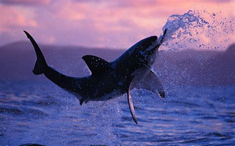 baby shark hd shark wallpapers hd pictures one hd wallpaper pictures