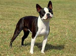 do boston terriers shed bunkblog