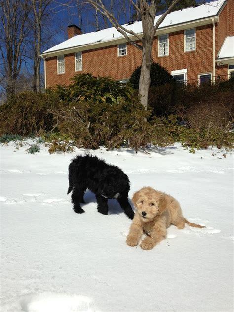 goldendoodle puppy week by week goldendoodle f1b puppies 11 weeks