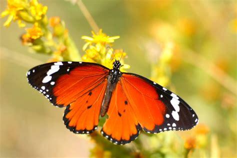 imagenes de mariposas monarcas mariposa monarca www building comule com