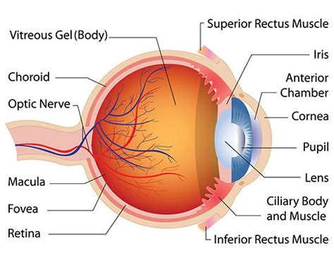 the eye is the l of the associated retina consultants diagram of the eye