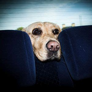 puppy car sickness 17 best images about beat travel sickness on kid the words and peppermint