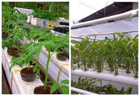 Pipa Tanaman Hidroponik 5 teknik dan 2 metode menanam sayur di pipa paralon dan