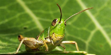 Cacing Klaten jangkrik belalang dan cacing lebih bernutrisi