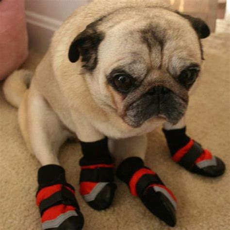 pug slippers meta here s a gallery of animals wearing animal slippers hop to pop