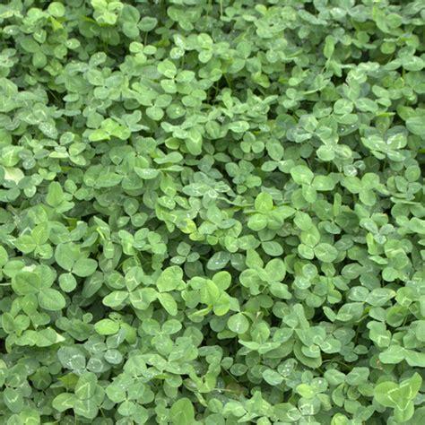 weissklee trifolium repens