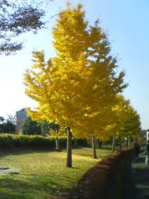 file ginkgo winter japan jpg