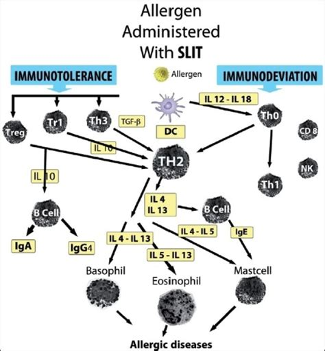 mechanisms of allergen specific immunotherapy figure 0001 sublingual immunotherapy in allergic asthma