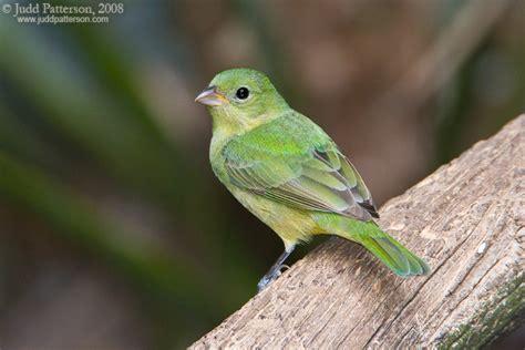 oklahoma little green bird help me identify a bird