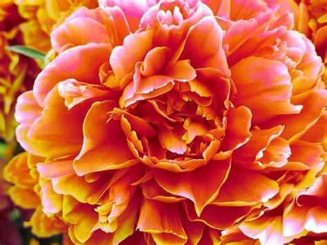 significato dei fiori peonia peonia significato piante da giardino il linguaggio