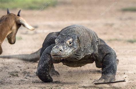 attack   komodo dragon stock photo  surzet