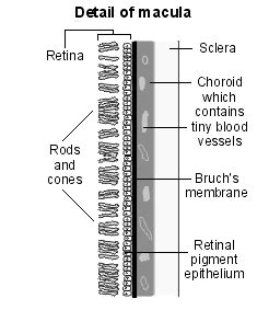 retinal pattern dystrophy icd 9 diagram detailing the macula