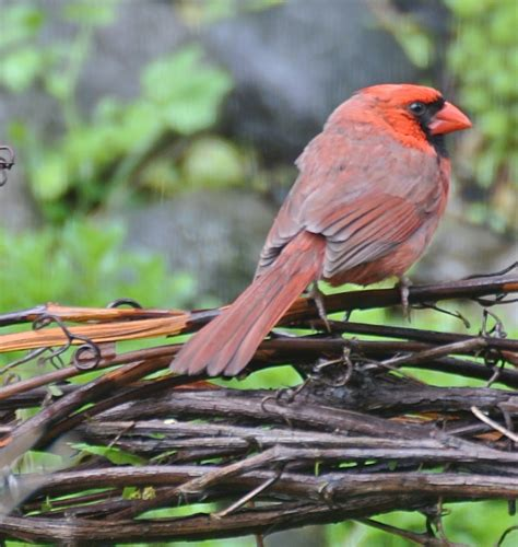 backyard birds northton ma northern cardinal birdwatching