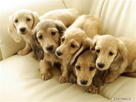 golden dachshund puppies miniature golden retriever dachshund miniature dachshund puppies
