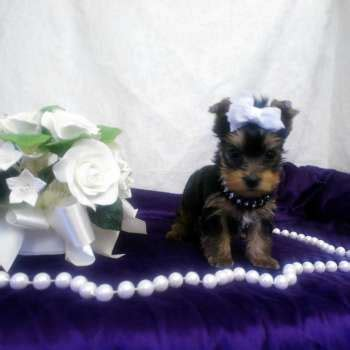 teacup yorkie for sale in st louis mo chocolate yorkies for sale yorkie puppies sale elvis terrier