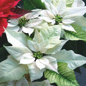white poinsettia poinsettias park garden gallery