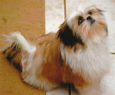 how to house a shih tzu puppy shih tzu breeder shih tzu puppies for sale bells az shih tzu