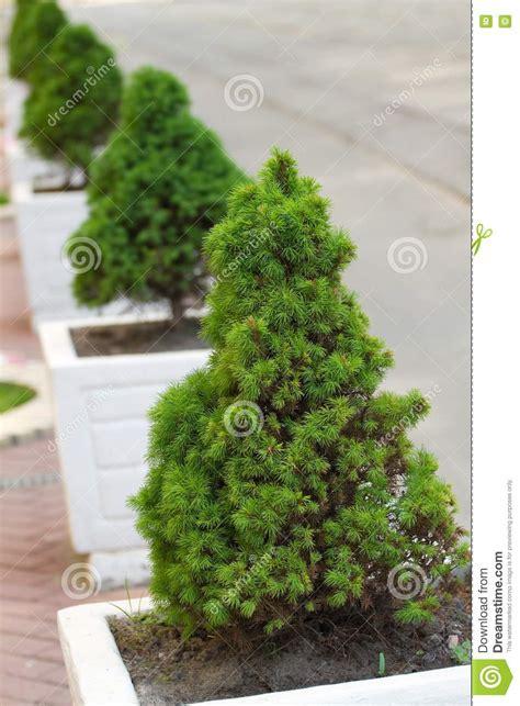 decorative pine trees decorative pine trees royalty free stock image image